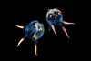 A male and female Copula sivickisi. This species of box jellyfish is unusual in that it has a mating ritual and internal fertilisation.