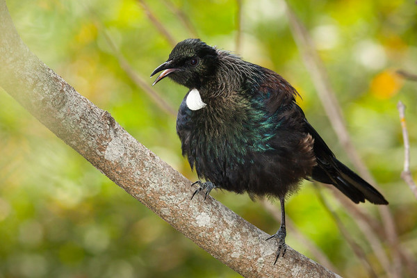 The New Zealand Tui