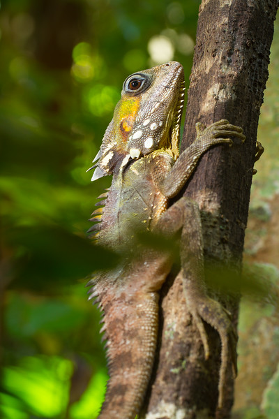 Boyd's forest drgaon (Hypsilurus boydii)