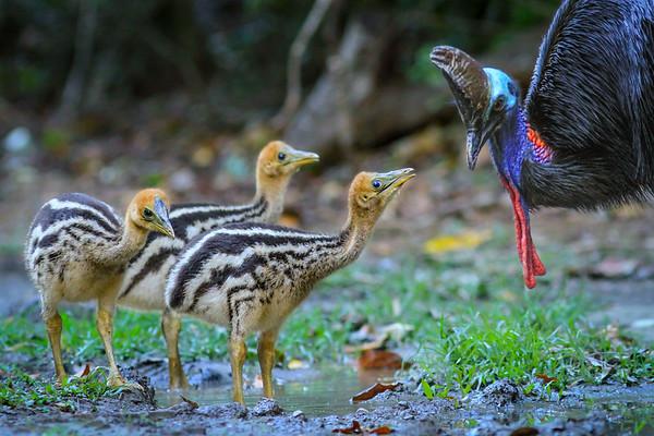 Cassowary family