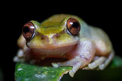 Common mist frog