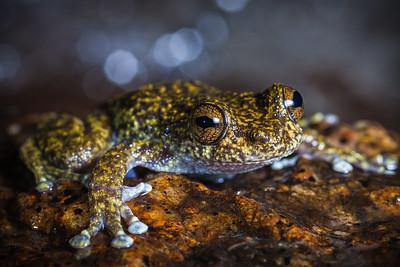 Waterdall frog