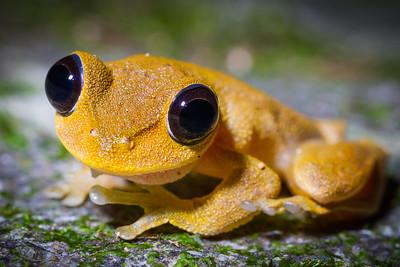 Australian lace-lid frog