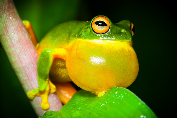 Orange-thighed tree-frog