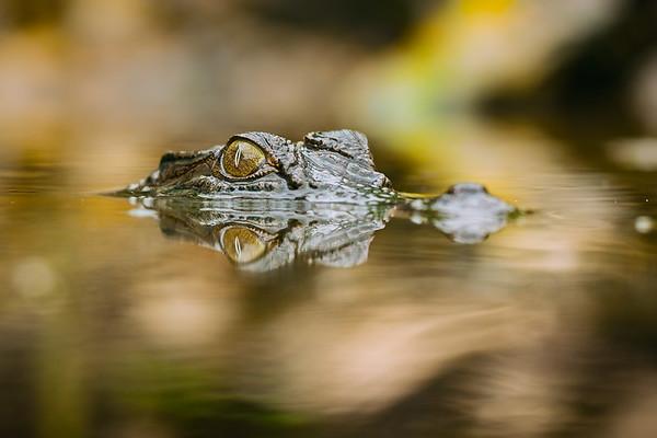 An Australian estuarine or saltwater crocodile