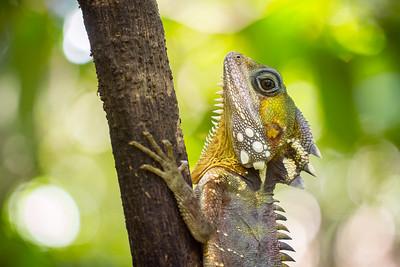 Boyd'd forest dragon
