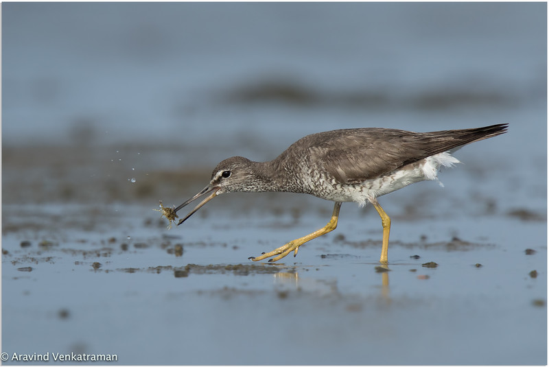 Grey Tailed Tattler - First record on the indian shores