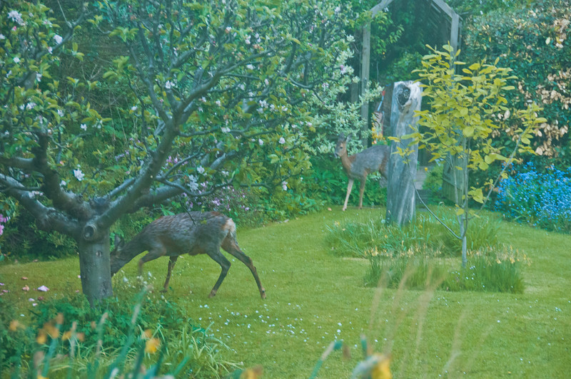 2010-May-13-Deer in Garden-18