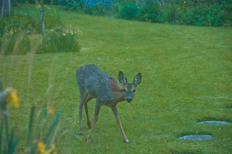 2010-May-13-Deer in Garden-11