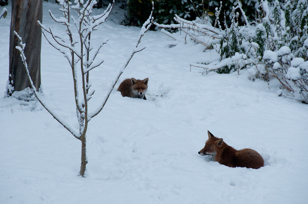 2010-January-13-Foxes in garden-7