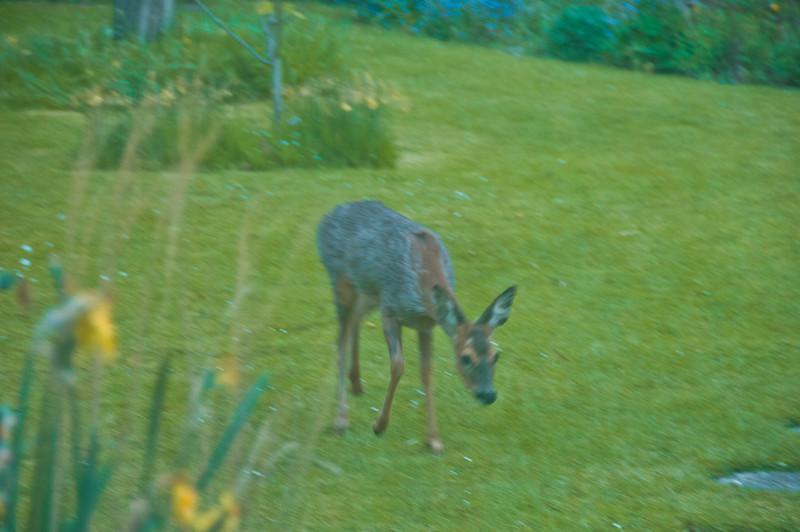 2010-May-13-Deer in Garden-9