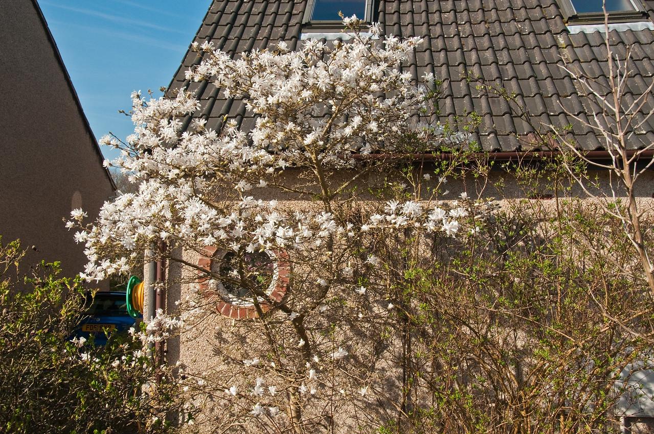 2010-April-08-Magnolias in Spring-9