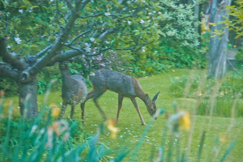 2010-May-13-Deer in Garden-2
