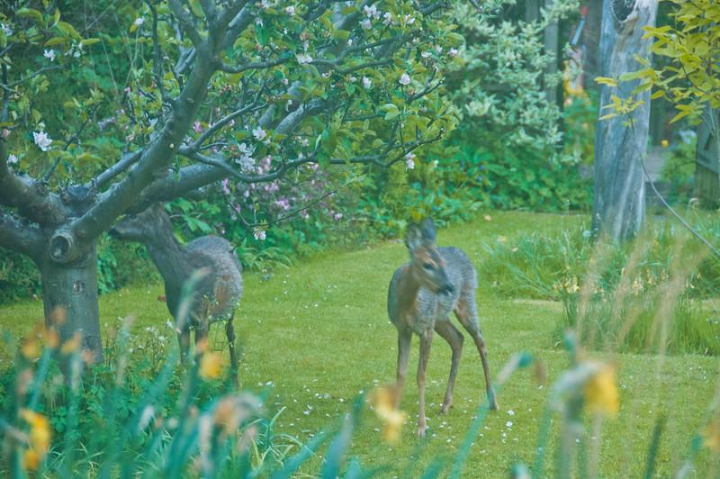 2010-May-13-Deer in Garden-7