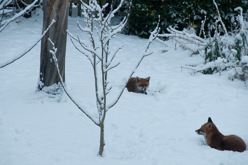 2010-January-13-Foxes in garden-5