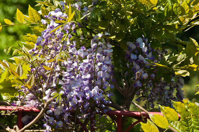 2010-May-23-Wisteria-5