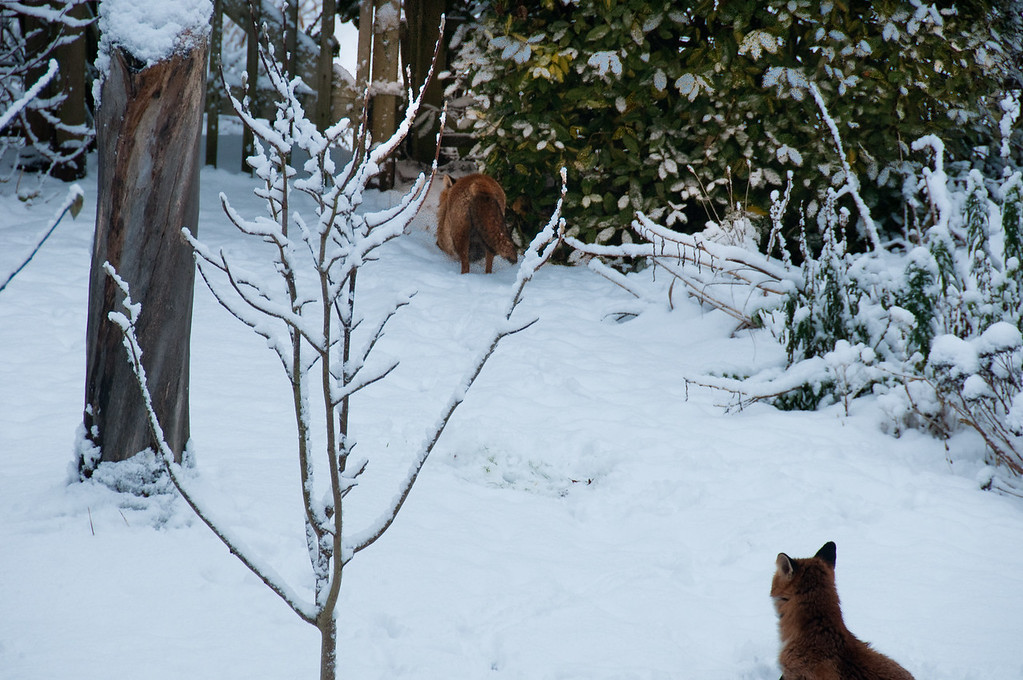 2010-January-13-Foxes in garden-8