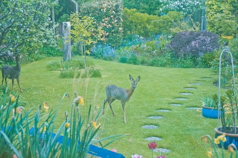 2010-May-13-Deer in Garden-13
