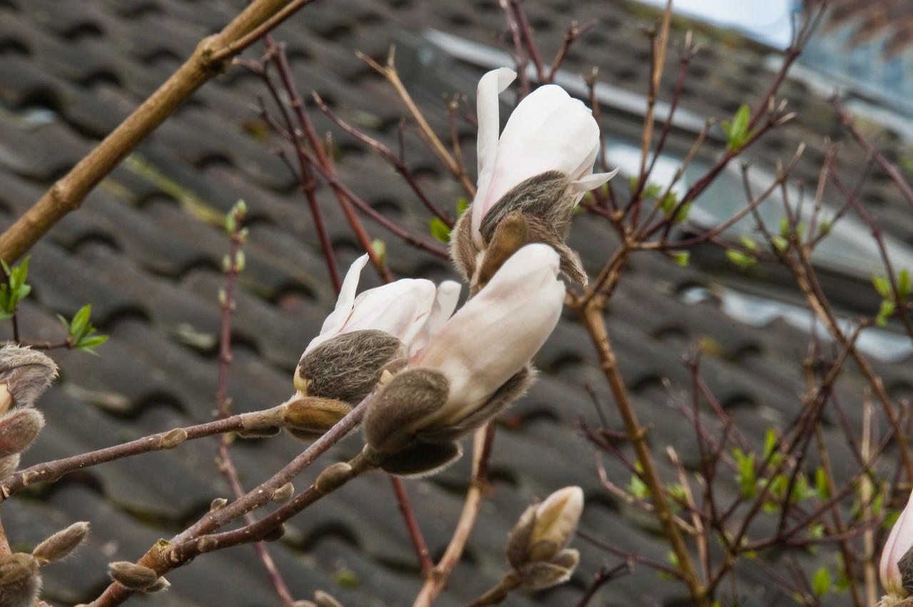 2010-March-30-Magnolias in Spring-3