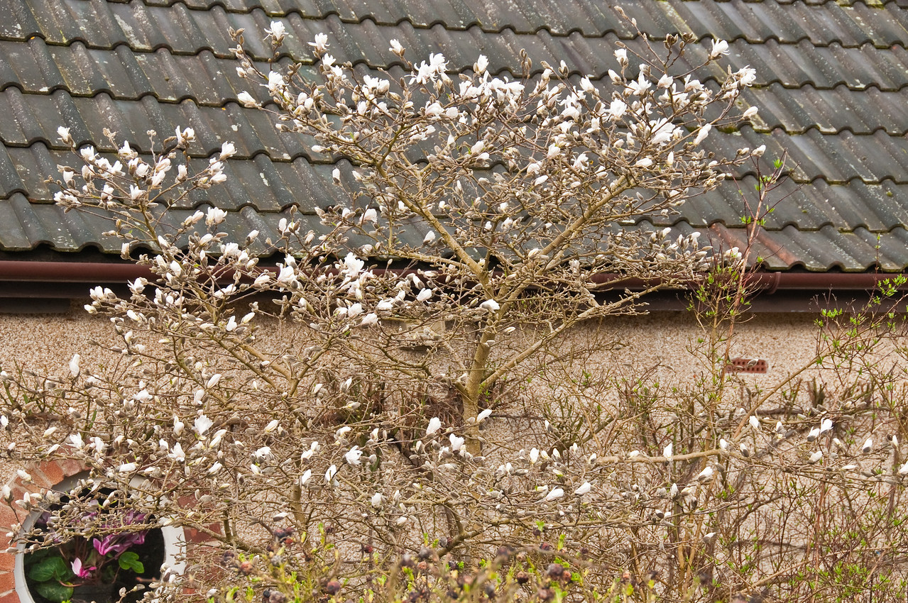 2010-March-30-Magnolias in Spring-1