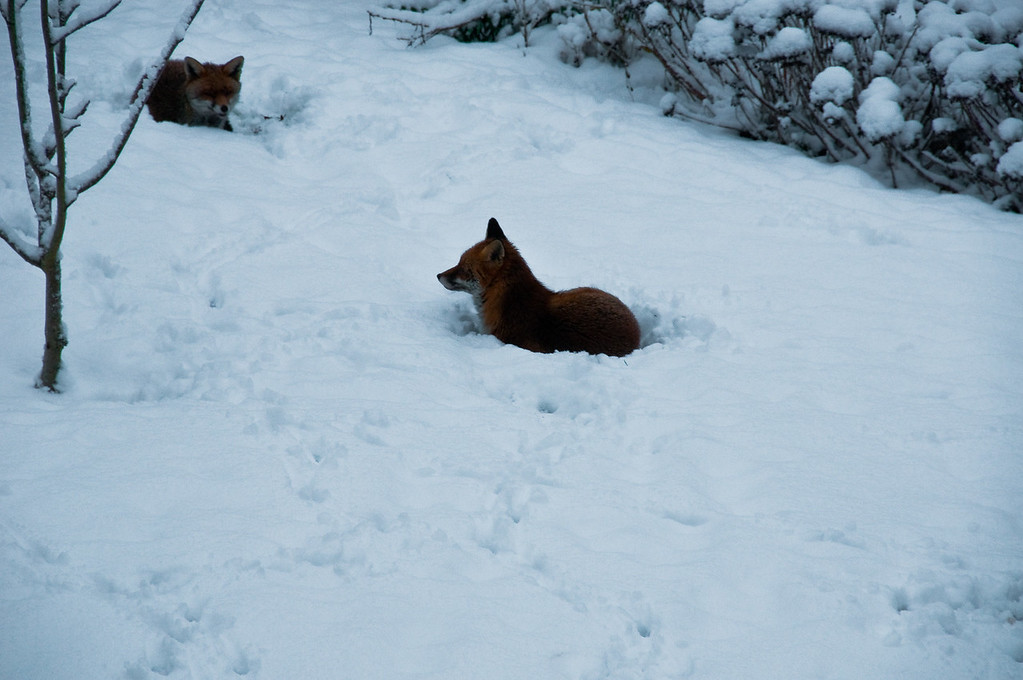 2010-January-13-Foxes in garden-4
