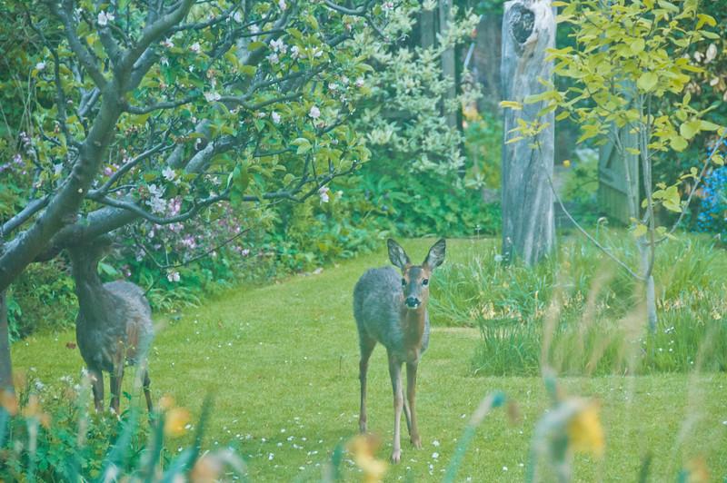 2010-May-13-Deer in Garden-3