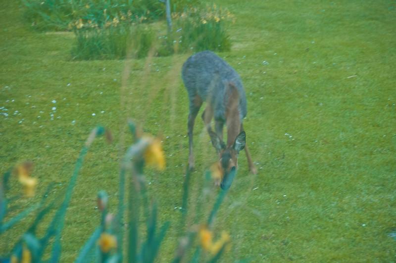 2010-May-13-Deer in Garden-8