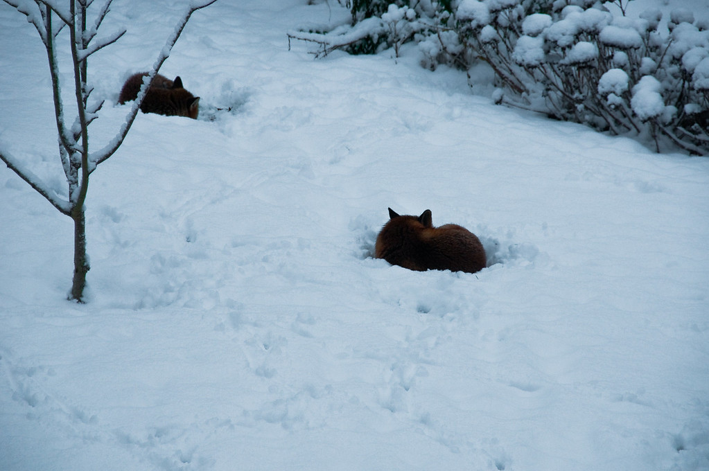2010-January-13-Foxes in garden-3