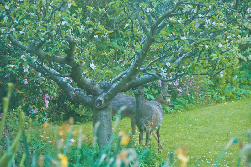 2010-May-13-Deer in Garden-1
