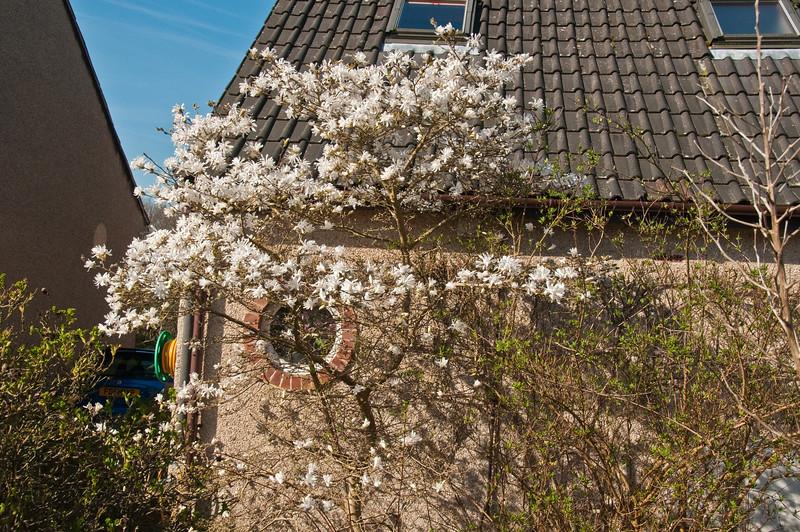 2010-April-08-Magnolias in Spring-8