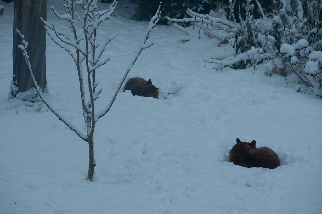 2010-January-13-Foxes in garden-1