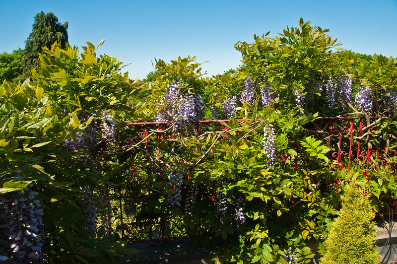 2010-May-23-Wisteria-1