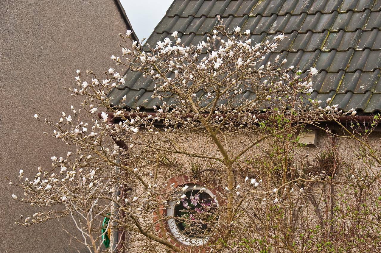2010-March-30-Magnolias in Spring-2