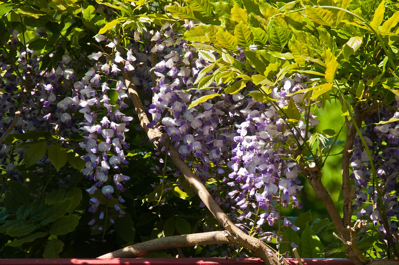 2010-May-23-Wisteria-4