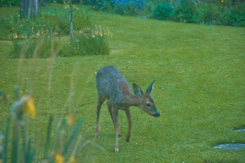 2010-May-13-Deer in Garden-10