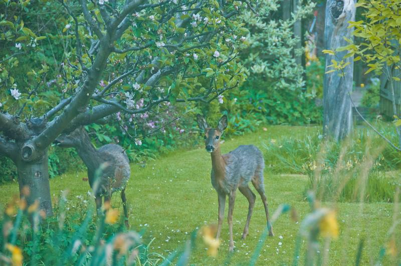 2010-May-13-Deer in Garden-6