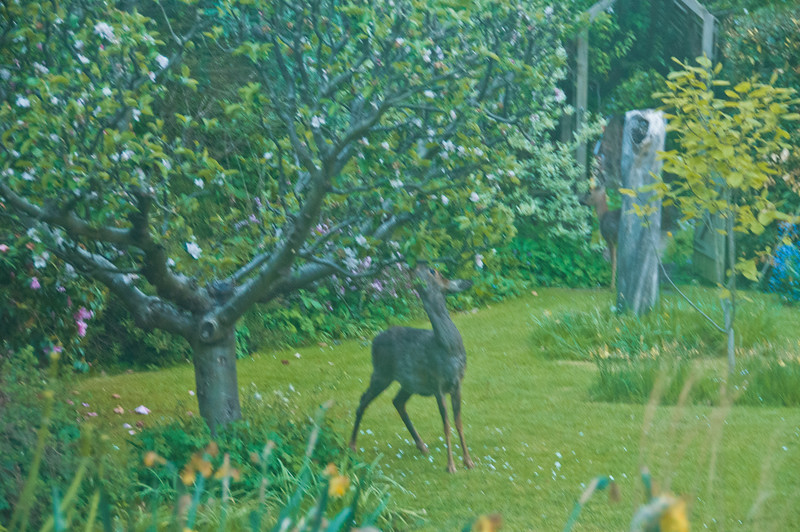 2010-May-13-Deer in Garden-17