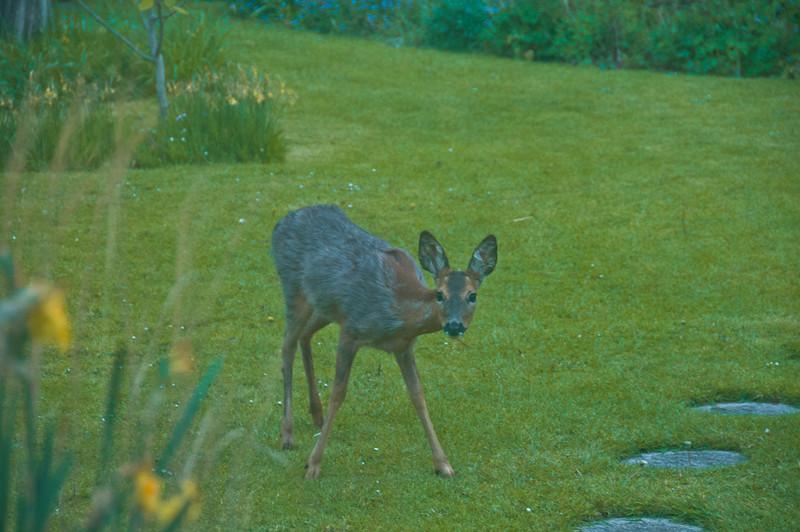 2010-May-13-Deer in Garden-12
