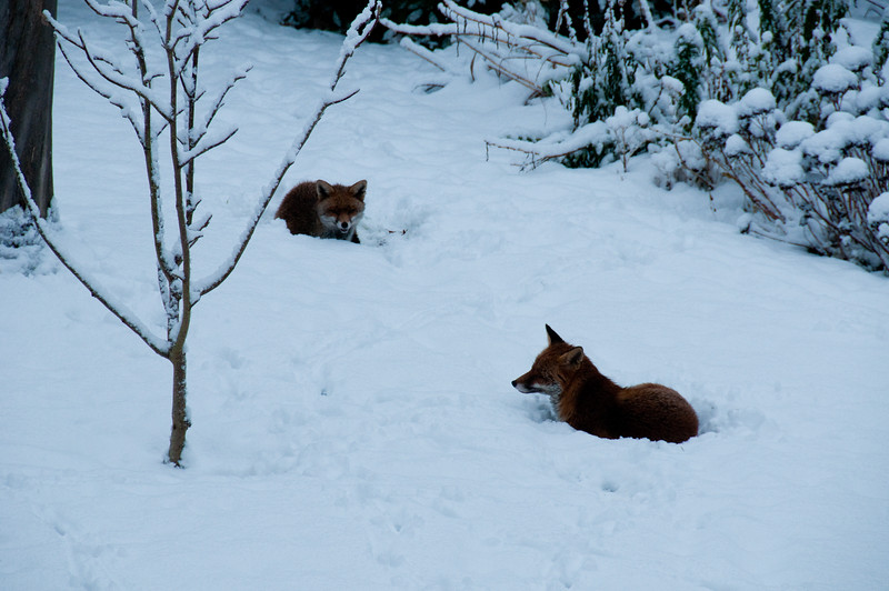 2010-January-13-Foxes in garden-6