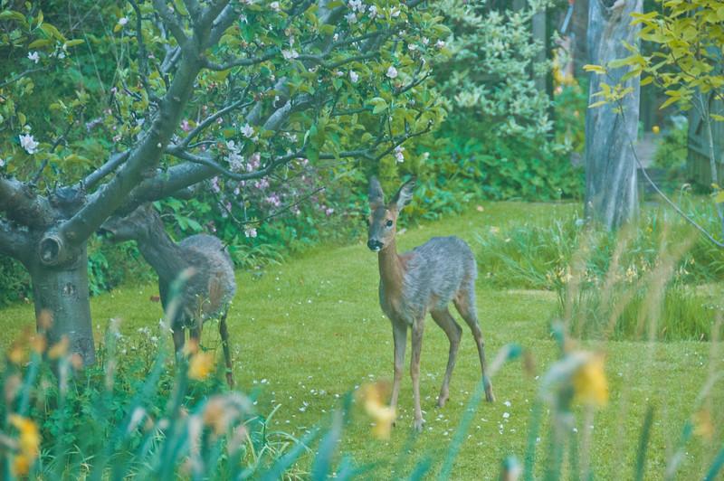 2010-May-13-Deer in Garden-5