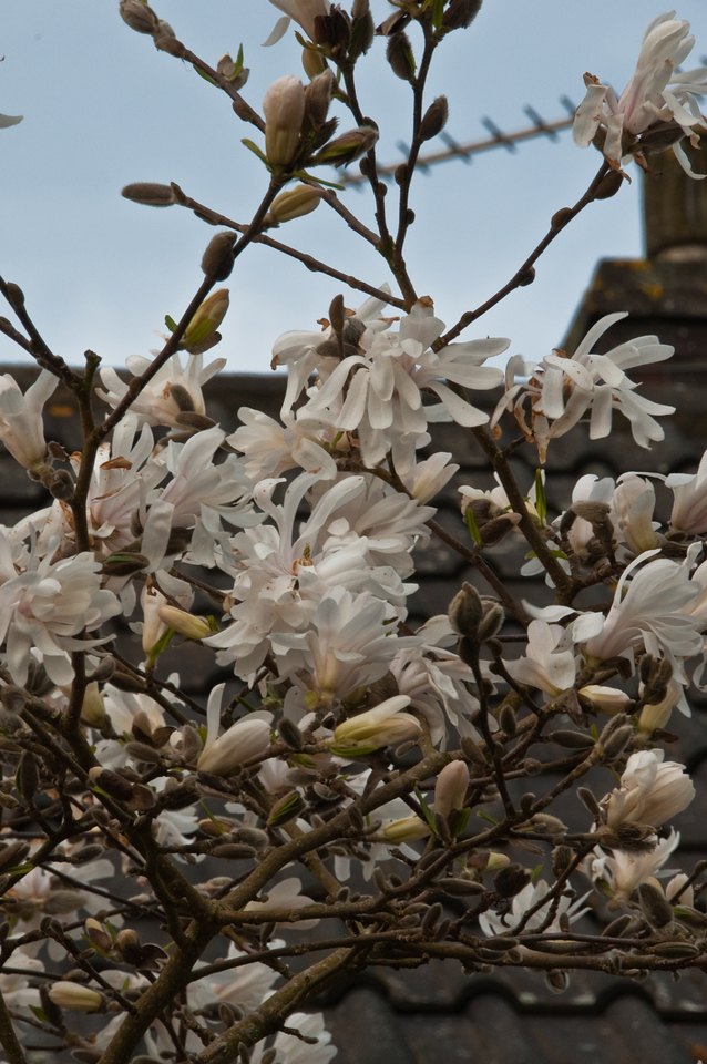 2010-April-06-Magnolias in Spring-6