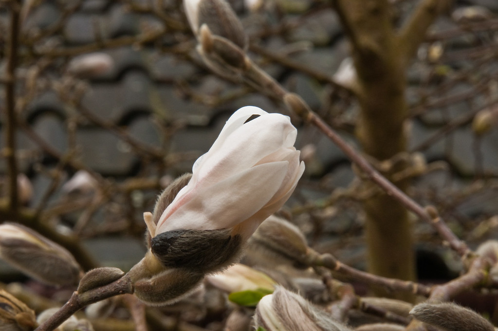 2010-March-30-Magnolias in Spring-4