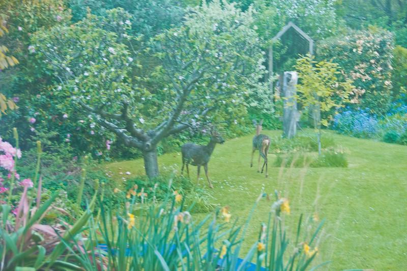 2010-May-13-Deer in Garden-15