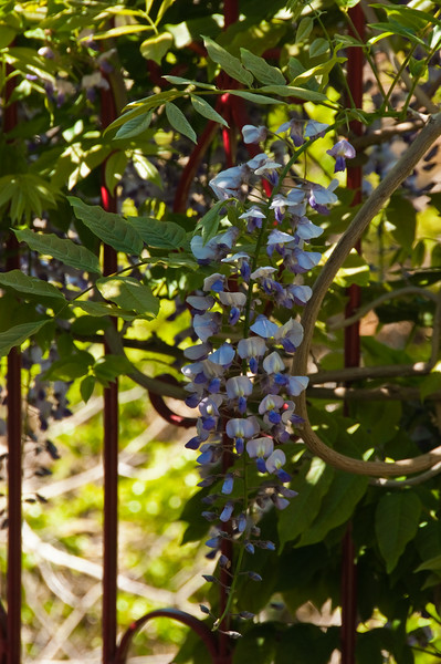 2010-May-23-Wisteria-6