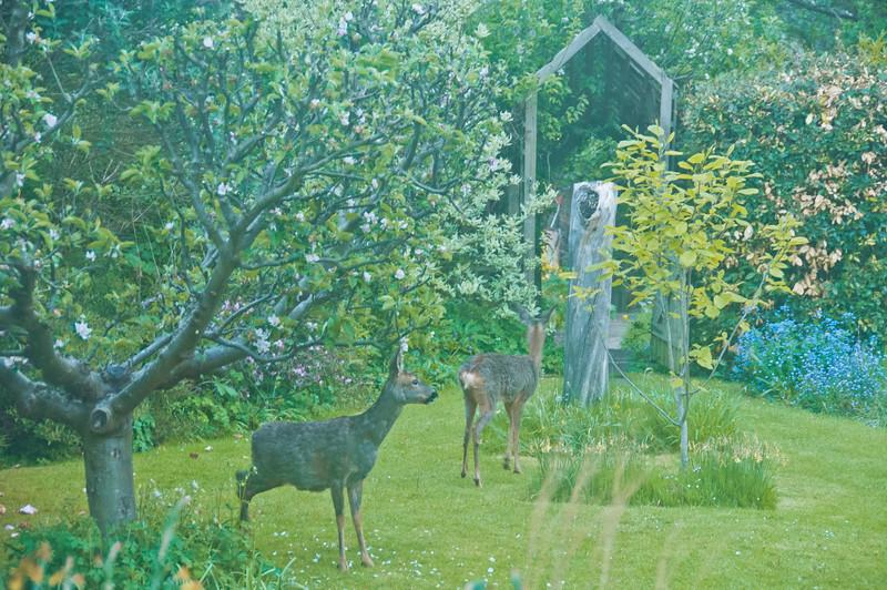 2010-May-13-Deer in Garden-16