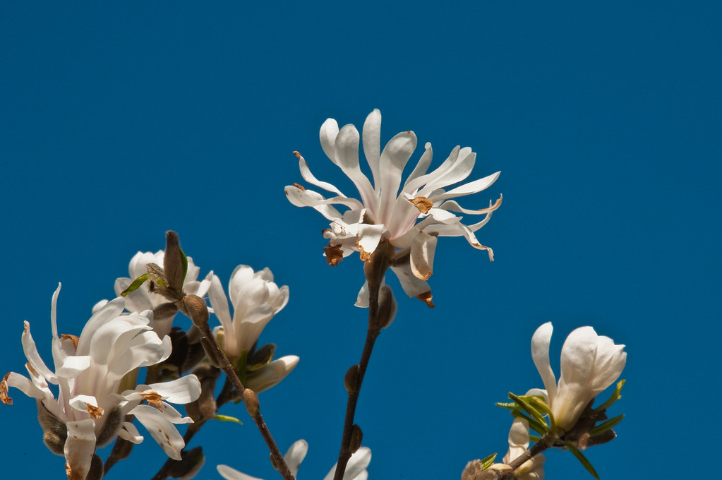 2010-April-08-Magnolias in Spring-11