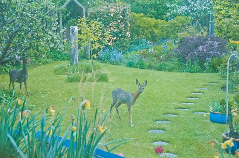 2010-May-13-Deer in Garden-14