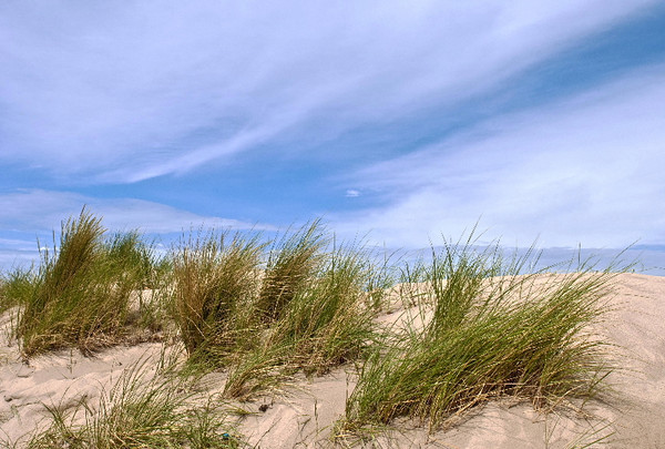 Beach grass<br /> Baltic Coast, Germany<br /> <br /> P238