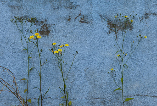 Flower in a crannied wall<br /> Prora, Germany<br /> <br /> P316