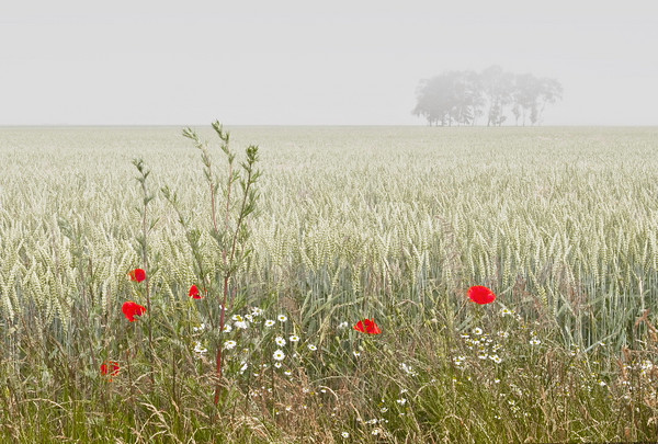 Poppies in the Korn<br /> Baltic Coast, Germany<br /> <br /> P258